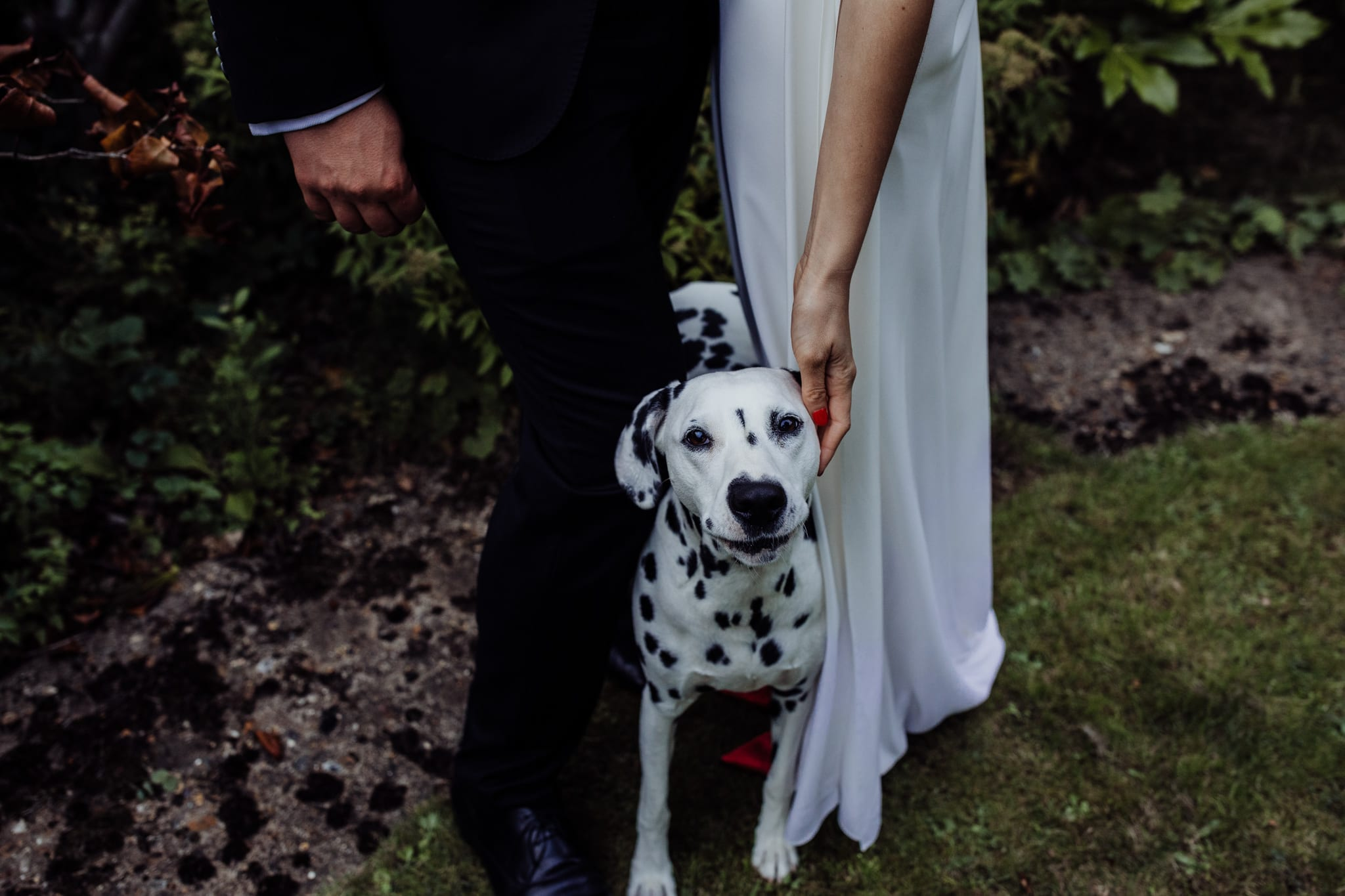 dalmatian dog at a wedding